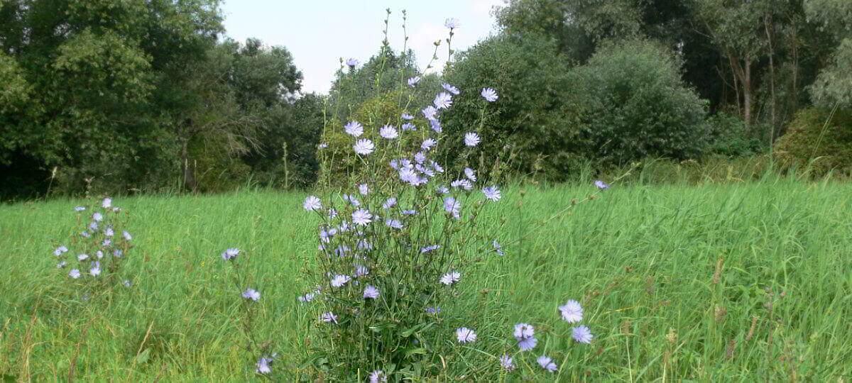 Wildblumen Wegwarte